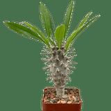 Pachypodium lamerei var. ramosum