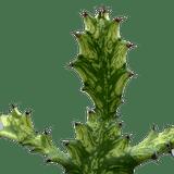 Euphorbia mayurnathanii variegata (branched)