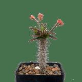 Euphorbia milii x moratii