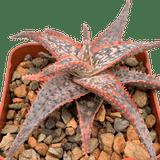 Aloe hybrid 'wrasse'