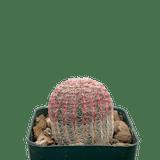 Echinocereus rubrispinus 'Rainbow Cactus'