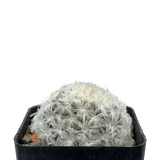 Mammillaria plumosa 'Feather Cactus'
