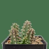 Huernia zebrina 'Lifesaver Plant'