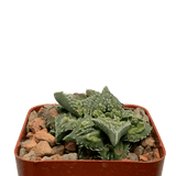 Faucaria tuberculosa cv. 'Sato'