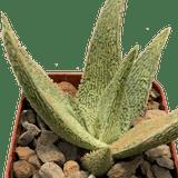 Aloe 'Corduroy'