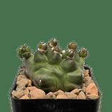 Gymnocalycium baldianum monstrose 'Transformer'