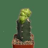 Mammillaria bocasana monstrose crested 'East Austin Form'