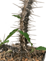 Euphorbia hofstaetteri