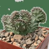 Luckhoffia beukmannii crested