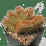 Mammillaria elongata 'Copper King' cristata