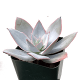 Echeveria cante 'White Cloud'