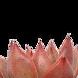 Echeveria agavoides 'Scarlet'