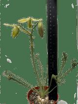 Albuca spiralis 'Frizzle Sizzle'