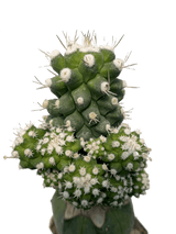 Strombocactus disciformis monstrose