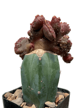 Echinopsis subdenudata 'Gappi'