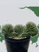 Lemaireocereus marginatus crested (Mexican Fencepost Cactus)
