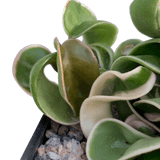 Hoya carnosa 'Compacta' variegata / Variegated Hindu Rope
