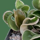 Hoya carnosa 'Compacta' variegata