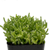 "Rhipsalis cereuscula ""Coral Cactus"" [small]"
