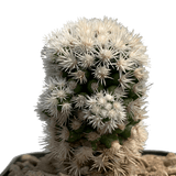 Mammillaria gracilis cv. 'Arizona Snowcap'