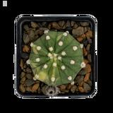 Echinopsis subdenudata variegata