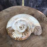 Fossilized Hildoceras Ammonite Specimen Single