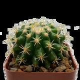 """Echinocactus grusonii monstrose brevispinus """"Plastica"""""""