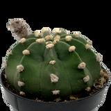 "Echinopsis subdenudata ""Dominos"" [medium]"
