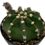 "Echinopsis subdenudata ""Dominos"" [medium]"
