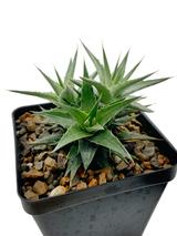 Deuterochonia lorentziana