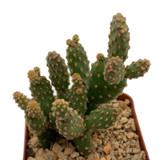 "Opuntia rufida minima monstrose ""Desert Gem"" / ""Cinnamon Cactus"""