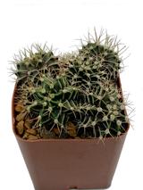 Gymnocalycium hybrid