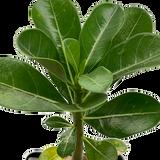 Adenium arabicum 'Diamond King' (King Adenium seed)