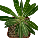 Pachypodium cactipes