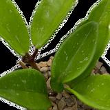Hoya publicalyx 'Pink Silver' [small]