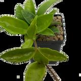 Hoya carnosa green