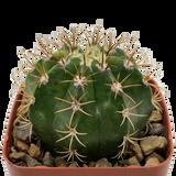 Melocactus matanzanus variegata