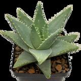 Aloe brevifolia top