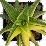 Aloe 'Hummels Cup of Gold'