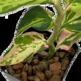 Pedilanthus tithymaloides 'Splish Splash'