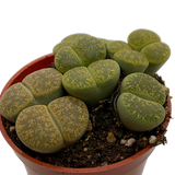 Lithops clusters assorted sp. Green