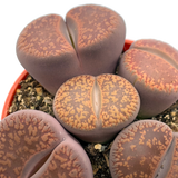 Lithops clusters assorted sp. Red/Brown