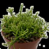 """Rhipsalis cereuscula """"Coral Cactus"""" [medium]"""