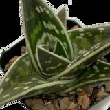 "Gonialoe variegata ""Tiger Aloe"""