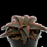Aloe 'Christmas Sleigh'
