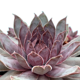 Sempervivum tectorum 'Purple Beauty'