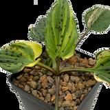 "Drimiopsis maculata variegata ""Leopard Lily"""