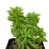 Peperomia ferreyrae hybrid