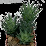 Haworthiopsis glauca v. herrei
