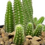 """Echinopsis chamaecereus """"Peanut Cactus"""""""